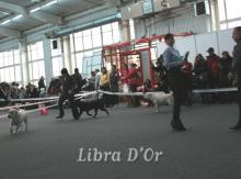 "International Dog Show in Nizhnyi Novgorod  "" Cup Of President RKF"" - 2012, CACIB- FCI. Ring Labradors. Best in Show. 25.11.2012"